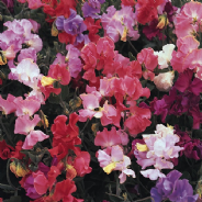 Sweet Pea - Perfume Delight - 40 seeds